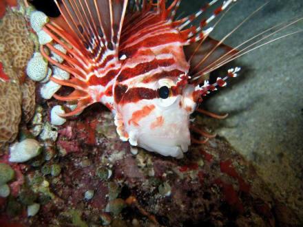Rotfeuerfisch - Aeolus Dive Fihalhohi