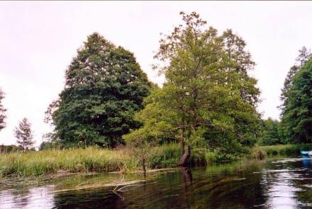 Bäume an der Czarna Hancza - Czarna Hańcza