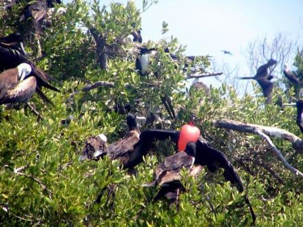 Vogelparadis - Isla Contoy - Isla Contoy