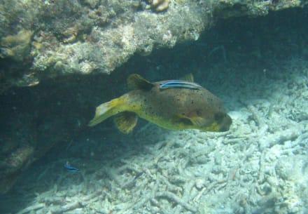 Schwarzfleck-Kugelfisch - Unterwasser