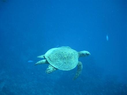 Schildpad op het huisrif - Tauchen Marsa Alam