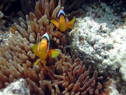 Clownfische in einer Anemone am Hausriff - Schnorcheln Sharm el Sheikh