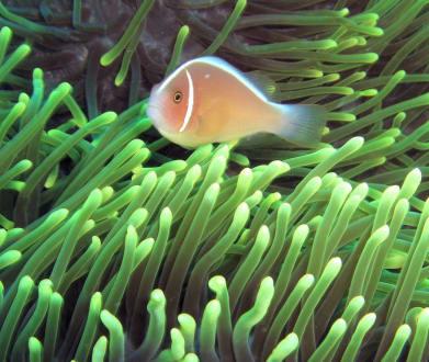 Anemonenfisch - Tour & Ausflug