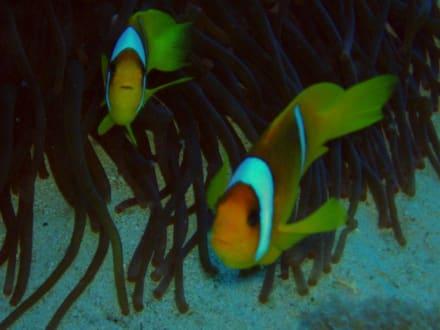 Rotmeer-Anemonenfisch - Tauchen Marsa Alam