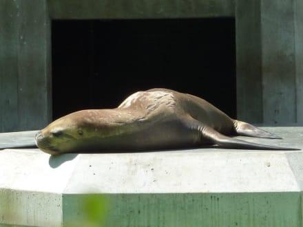 Mähnenrobbe - Tierpark Hellabrunn