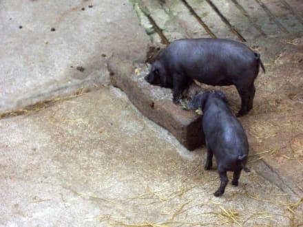 schwarze Schweinchen - La Granja