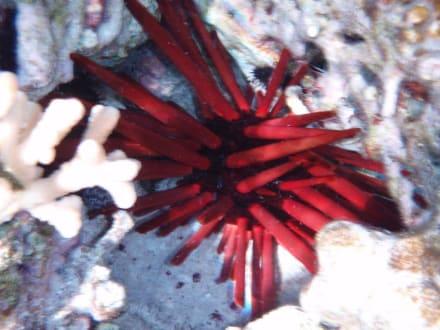 eine Seeigelart - Schnorcheln Hausriff Radisson Resort El Quseir