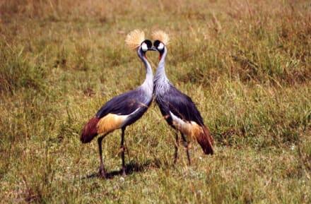 Kranich - Masai Mara Safari