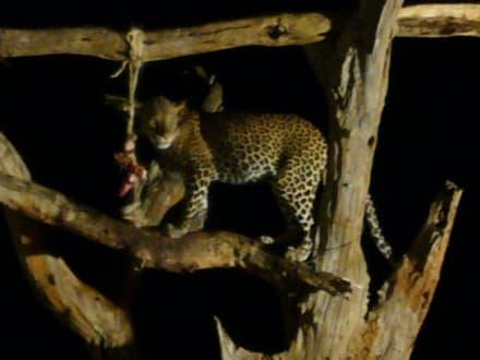 Leopard bei Fütterung - Tsavo West Nationalpark