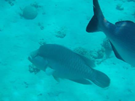 Am Hausriff Napoleon - Lippfisch - Schnorcheln Sharm el Sheikh