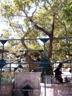 Baum des Hippokrates - Platane des Hippokrates