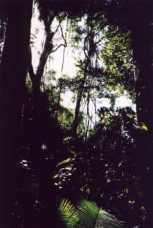 Regenwald - Wooroonooran National Park