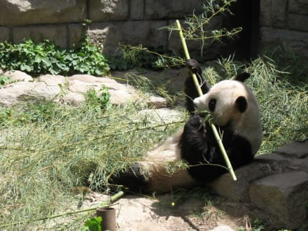 Panda futtert! - Peking Zoo