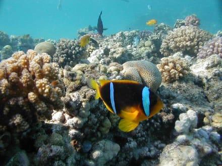 Anemonenfisch - Tauchen Makadi Bay