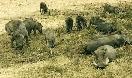 Warzenschweine - Masai Mara Safari