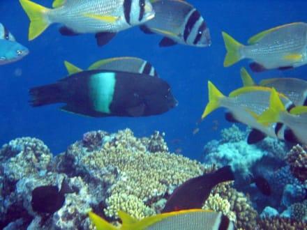 Fische wo man hinblickt - Schnorcheln Nabq Bay