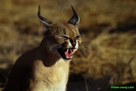 Luchs - Etosha Nationalpark