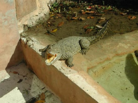 Krokodil - Zoo Miami