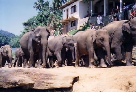Die wilden Waisen - Elefantenwaisenhaus Pinnawela