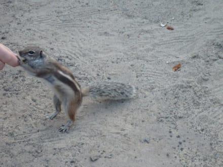 """""""nun gib schon her"""" Streifenhörnchen - Strand am Club Paraiso Playa"""