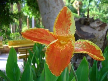 Lilie - Botanischer Garten Assuans - Kitchener Island