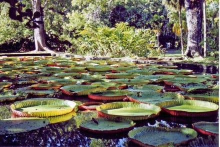 Botanischer Garten - Sir Seewoosagur Ramgoolam Botanical Garden / Pamplemousses Botanical Garden