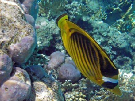Maskenfalterfisch - Schnorcheln Sharm el Sheikh