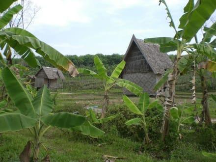Kautschuk Plantage Phuket - Rundreise Südthailand