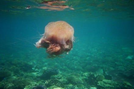 Qualle - Schnorcheln Perhentian