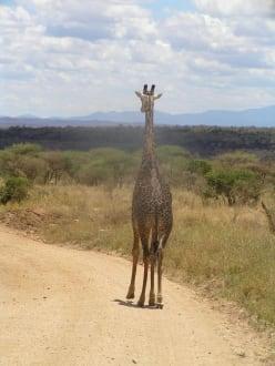 """Die sieht man hier """"ohne Ende"""" - Tsavo West Nationalpark"""
