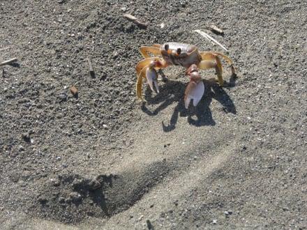 Krabbe am Strand, Puntarenas - Nationalpark Carara