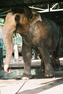 Elefant - Colombo Zoo