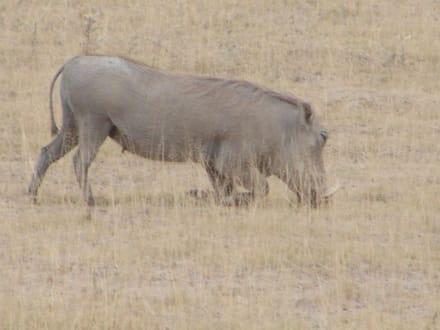Warzenschwein - Amboseli Nationalpark