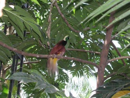 Im Tierpark Bali entdecket: Der Paradiesvogel. - Bali Bird Park