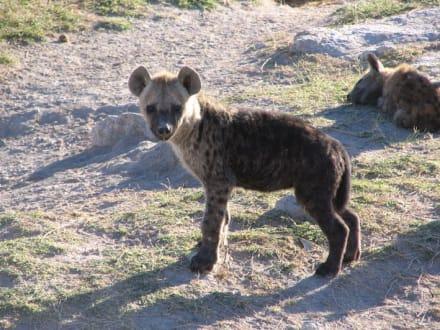 Hyäne - Amboseli Nationalpark