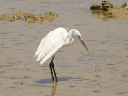 Vogel im Wasser - Amwaj Oyoun Hotel & Resort