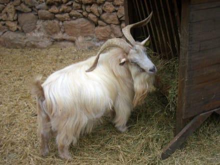 streichelbarer Ziegenbock - La Granja