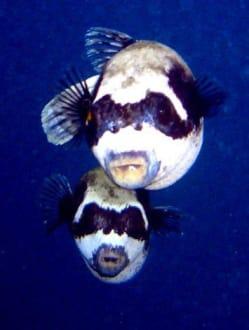 Maskenkugelfisch - Tauchen Marsa Alam