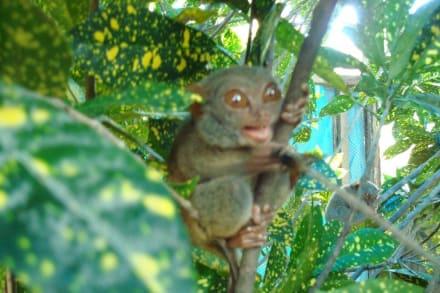 Tarsier frisst ein Insekt - Tarsir Visitor Center
