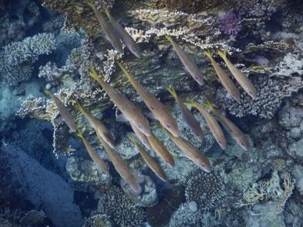 Leben im Wasser - Schnorcheln Coraya Bay Marsa Alam