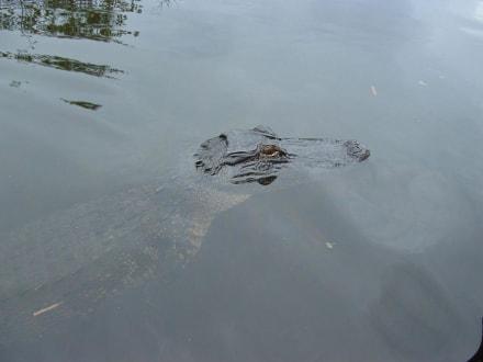Krokodilchen? - Everglades National Park