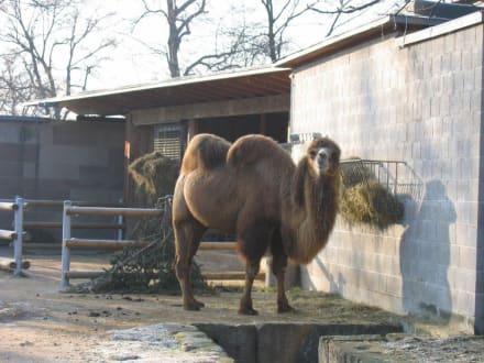 Kamel - Wilhelma