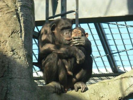 Schimpansen - Zoo am Meer Bremerhaven
