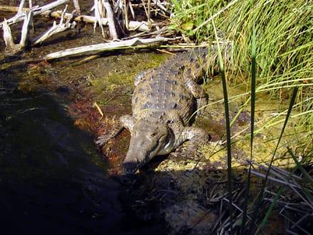 Krokodil sonnt sich - Bootstour Black River