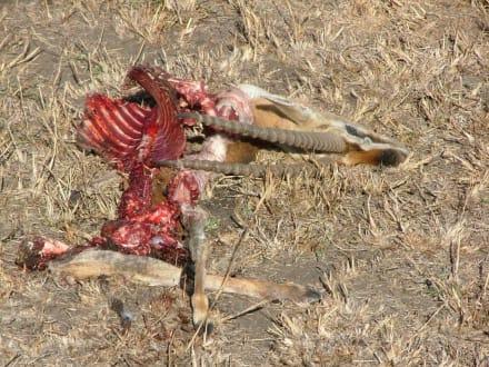 Der  Rest  der Gazelle noch einer 3/4 Stunde - Masai Mara Safari