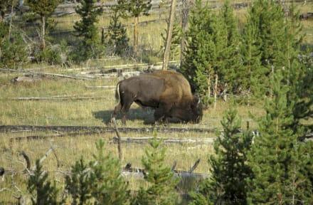 Bisonbulle - Yellowstone Nationalpark