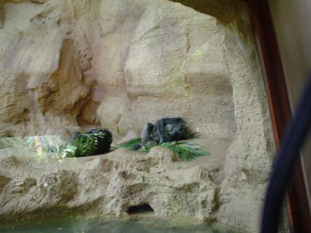 Schimpansen - Loro Parque