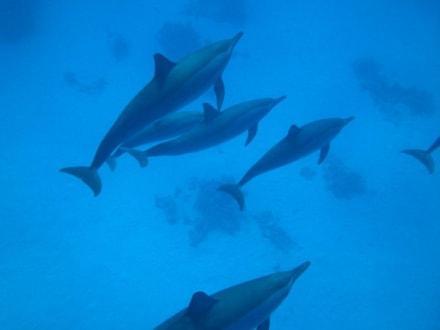 Delfine - Delfinschwimmen Dolphin Island Marsa Alam