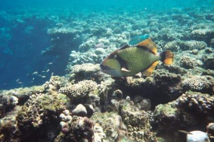 Riesendrücker - Tauchen Sharm el Sheikh
