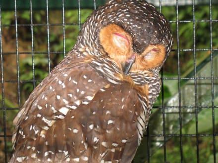 schlafende Eule - Kuala Lumpur Vogelpark